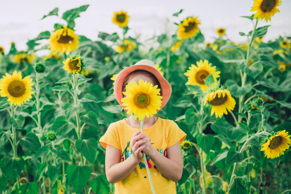 Little girl hiding face behind a sunflower in sunflower field